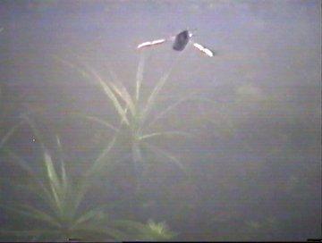Rueckenschwimmer auf Jagd unter Wasser